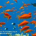 golden fish for good luck - www.newsonbijou.com -
