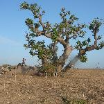 Baobab couché Somone