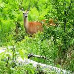 Deer at Gooseberry Falls