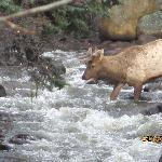 Elk crossing the river right in front of the Hot Tub
