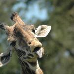 Entertaining giraffe