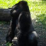 Mr.Silverback showing me his shining glory.