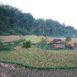 This resort has its own padi fields!