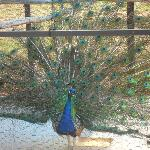The peacock at Peacock Pavilions