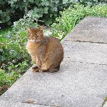 One of the elusive Abyssinian cats