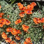 Wild poppies grow in St Remy district!