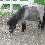 Kizmit the miniture horse- May 2010.