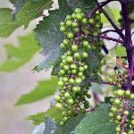 Grapes in June