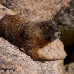 Resident Marmot