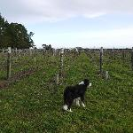 Vineyard and resident dog