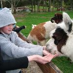 feeding the alpaca;s