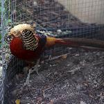 Golden Pheasant on the property