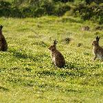 Rathlin Hares