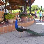 Peacocks.....
