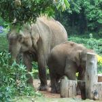 Elephants in front of my window eating mangoes from the Mango tree