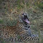 Leopard near Monwana