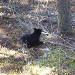 black bear in back of motel awesome wildlife