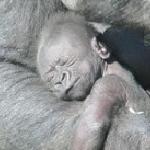 Baby Gorilla Okanada