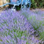 Old Wagon with lavender greets you as you enter La Ferme de la Huppe