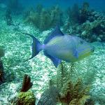 My favorite, the queen triggerfish, very plentiful