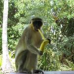 a green monkey visiting us for breakfast
