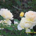 Country Rose ...