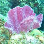 Purple vase sponge on healthy reefs