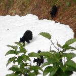 Black bear and three cubs