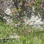 Dies sind die ersten Alpenrosen, die ich sehe in diesem Jahr in Bivio!