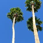 Towering palm trees