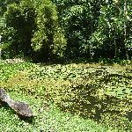 Arapaimas pond
