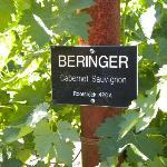 Grapes at Beringer