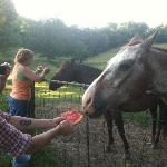 feeding watermelon to horses
