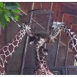 zoo de Cologne : les girafes