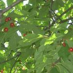 le splendide e saporite ciliegie di Ledro