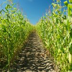 Wolfe Island Corn Maze