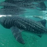 Whale shark - Holbox Mawimbi