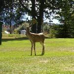 Bambi visits sometimes