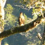 Eagle near Ecolodge Fiordo Queulat