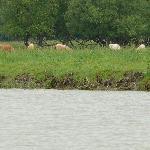 rencontre de vaches sur une île !
