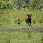 The Buffalo Ranch