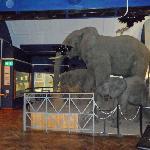 Elephant models