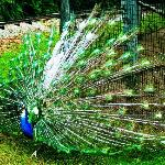 A beautiful peacock - Photo owned by Just Chill Here