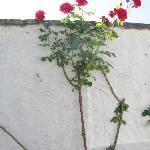 red roses at at white wall