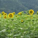 sun flower field nearby