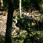 Ocellated Turkey Wild