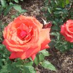 Tropicana is a rose garden favorite.