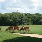 deer on the legends golf course