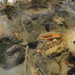 Fascinating live in tide pool tanks.