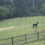 resident alpacas with deer grazing in the background